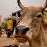 ¿Por qué las vacas son sagradas en la India?