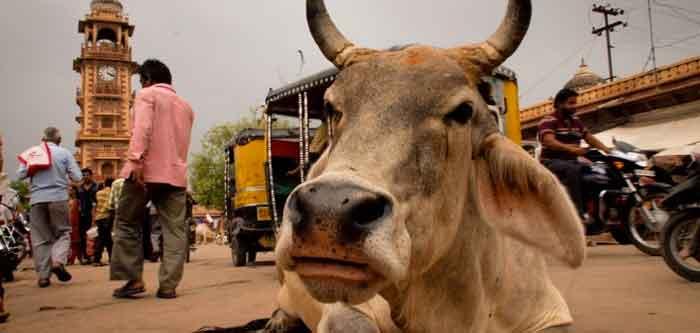 porqué las vacas son sagradas en la india