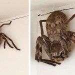 Una mujer entra a la ducha y está aterrorizada por una gran araña cazadora que la estaba esperando