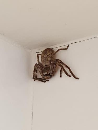 araña cazadora